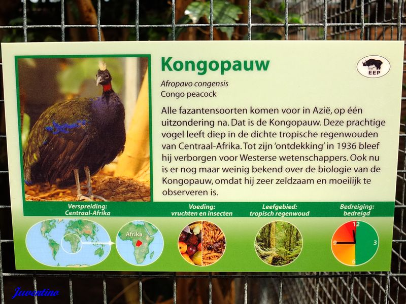 Afropavo congensis